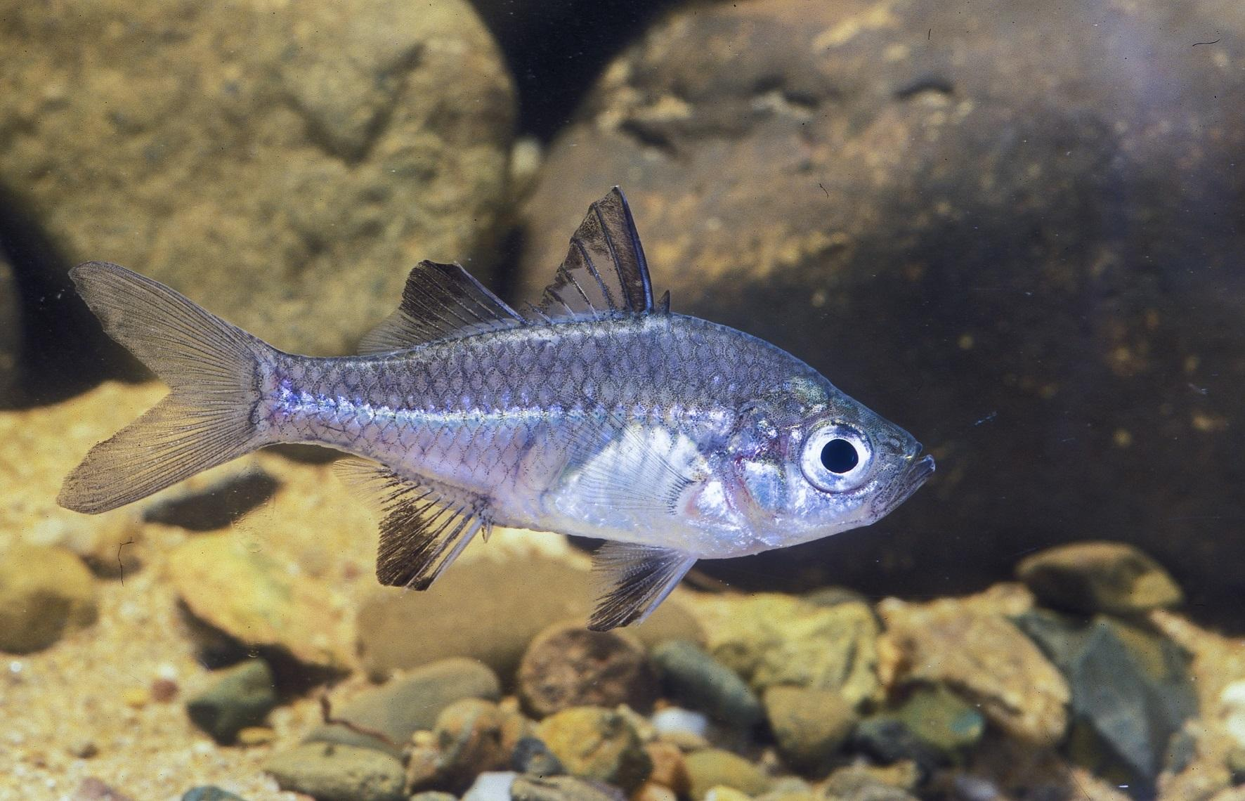 Native freshwater fish of the Redlands - Agassiz's perchlet
