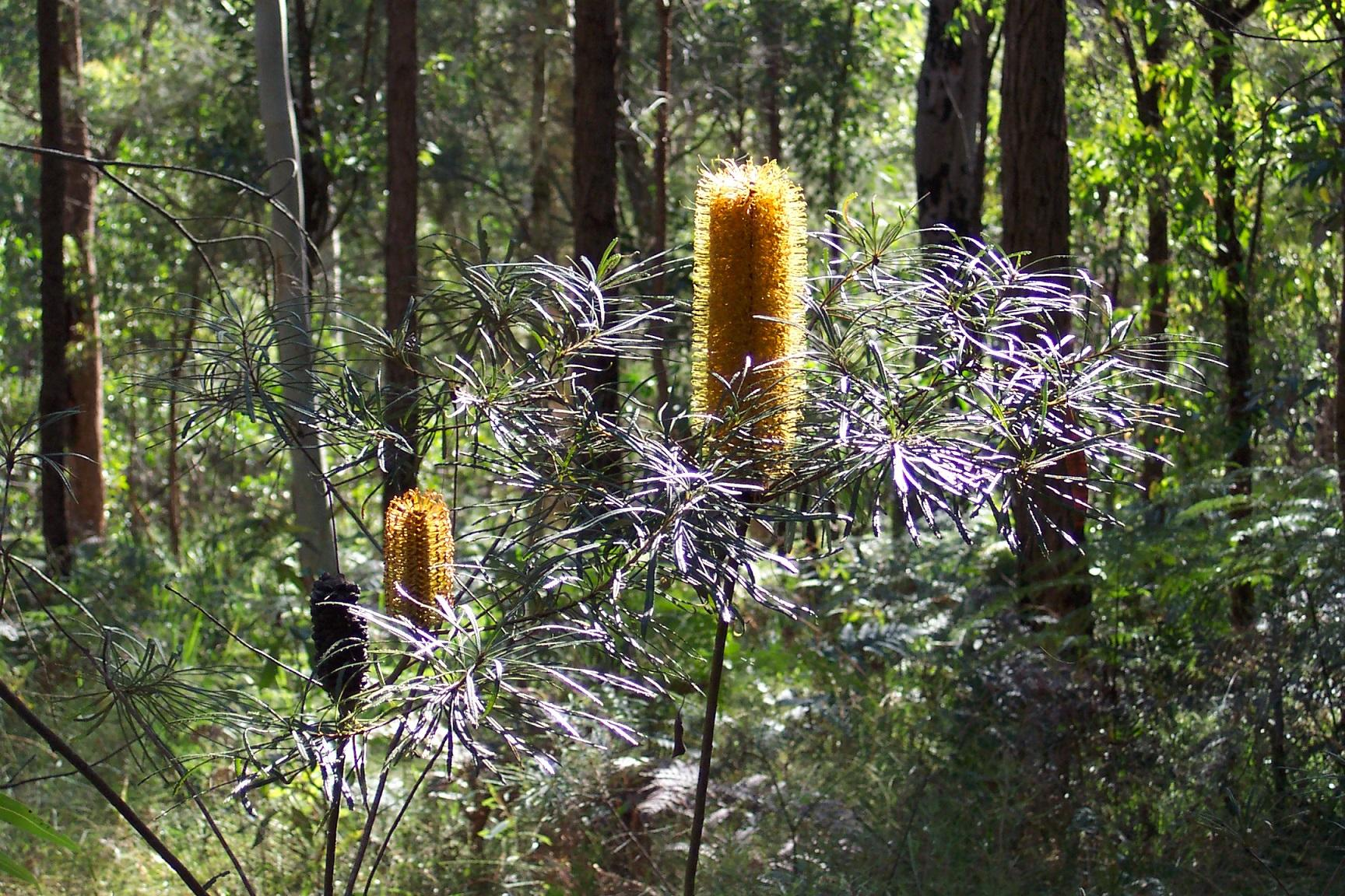 Redlands shrubs - Hairpin Banksia