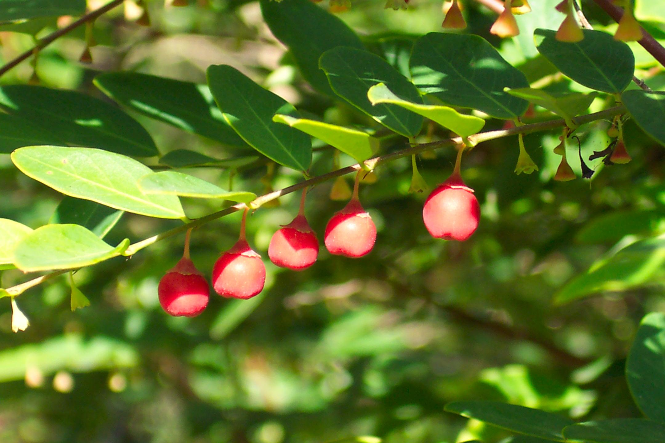 Redlands shrubs - Coffee Bush