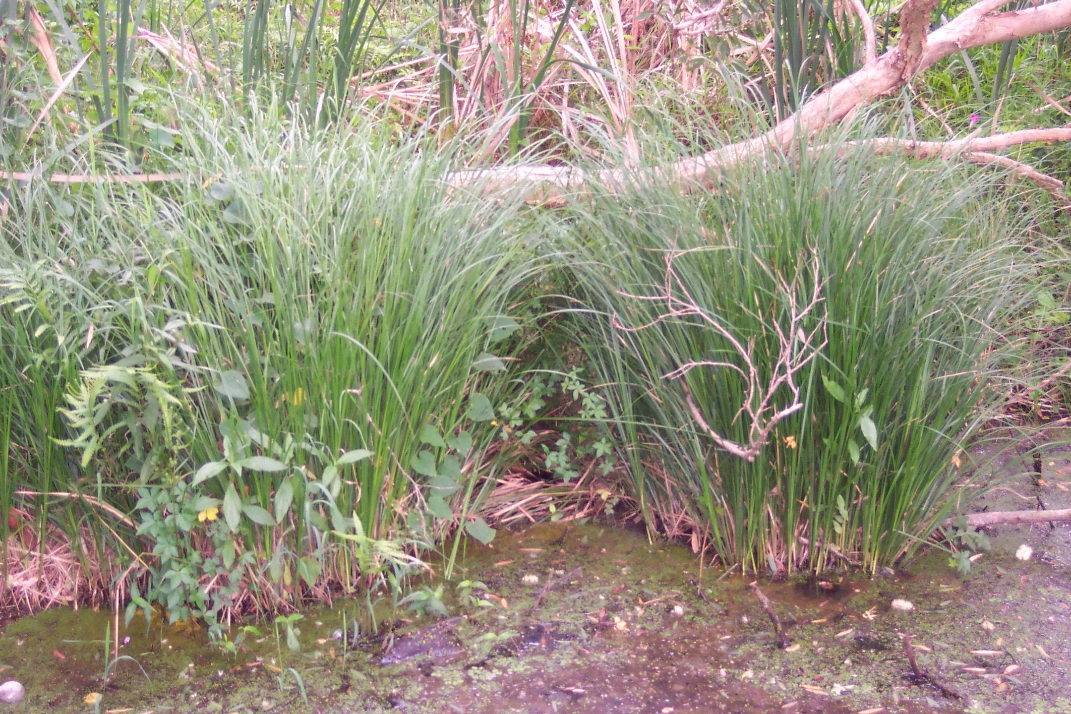 Redlands groundcovers - Saw Sedge