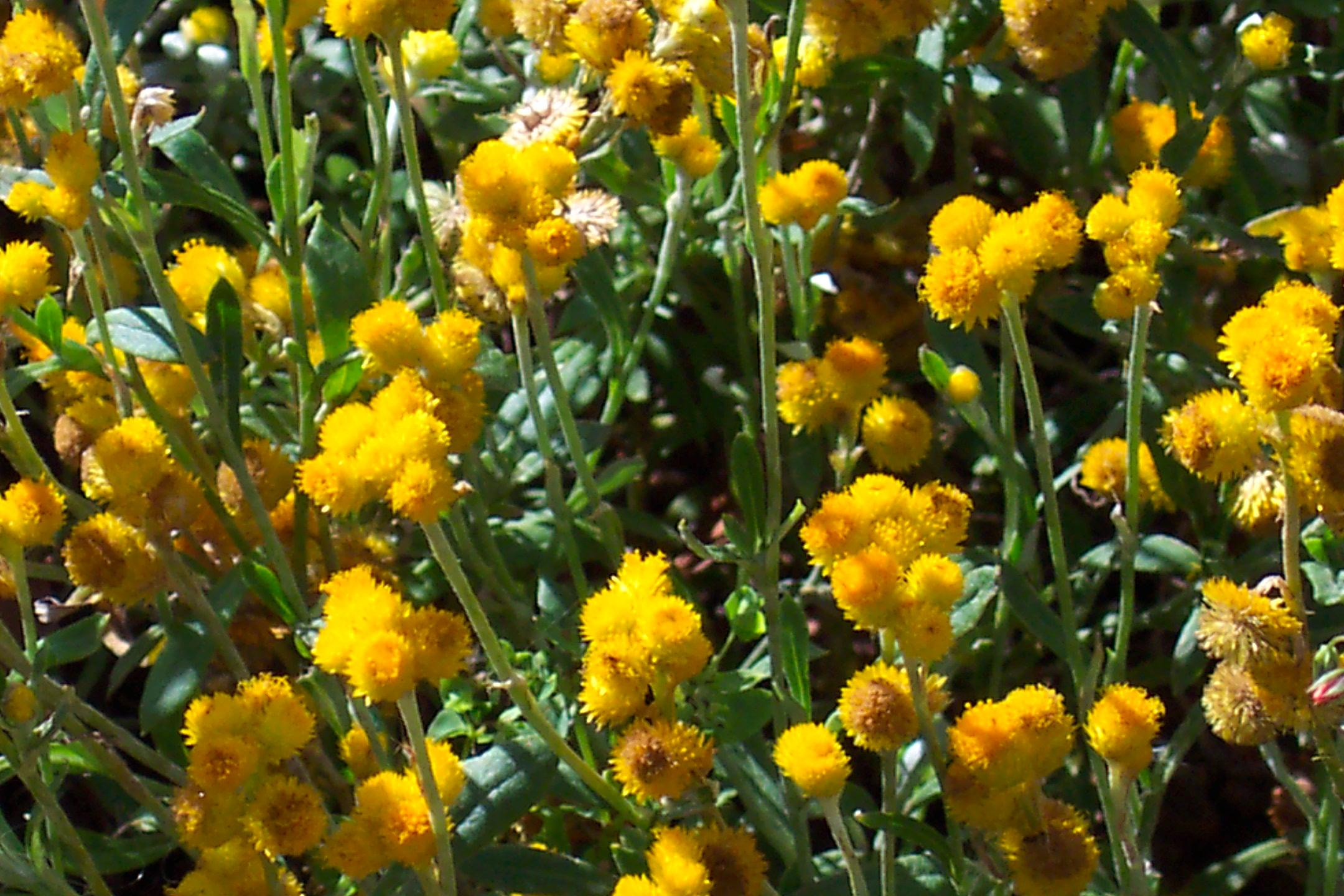 Redlands groundcovers - Yellow Buttons