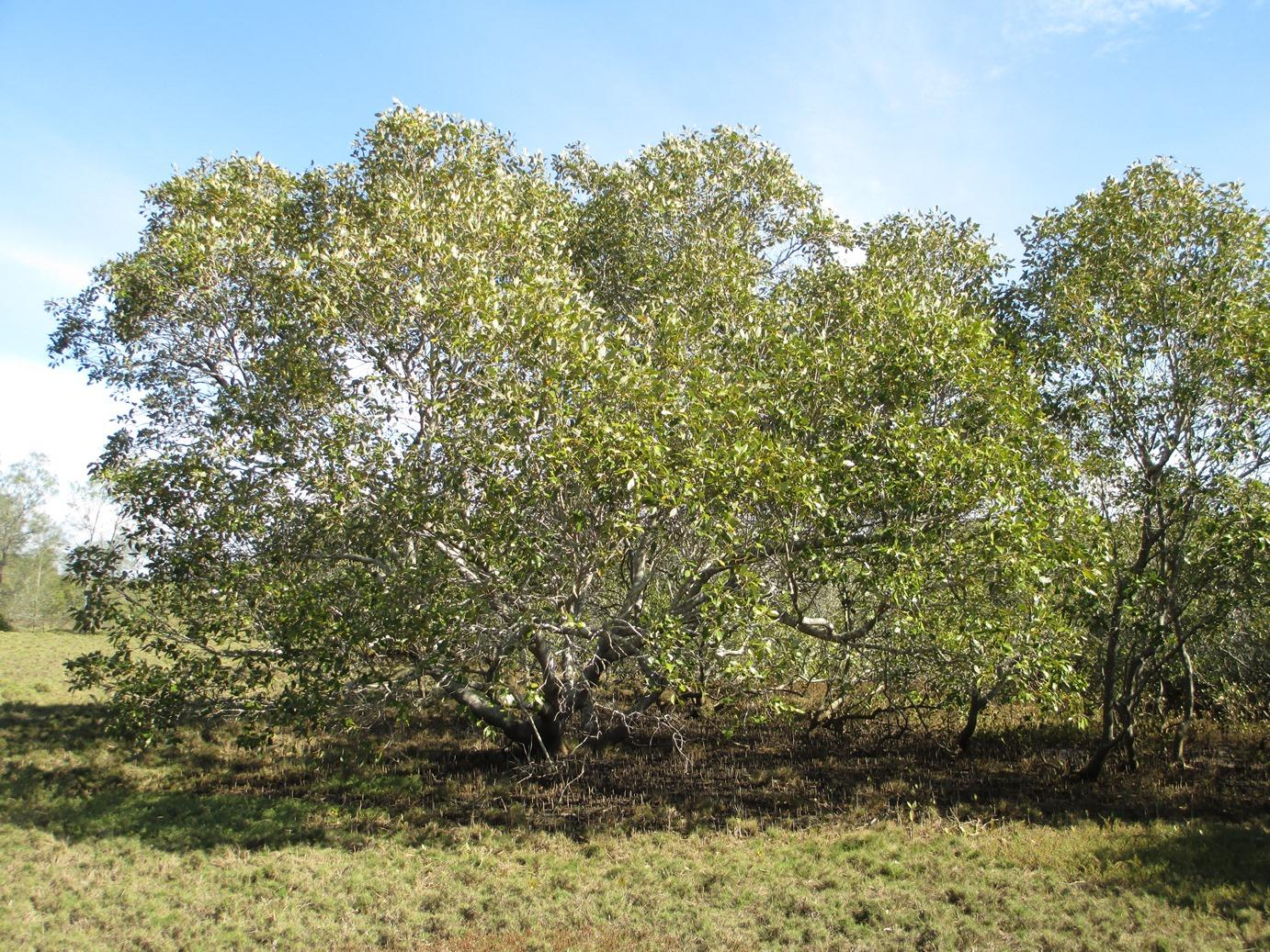 Grey mangrove in the Redlands