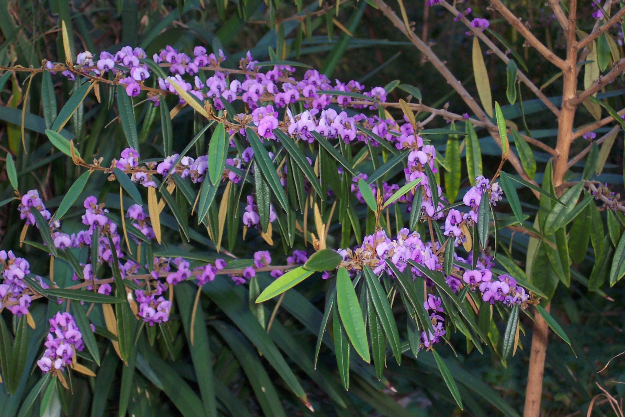 Redlands shrubs - Pointed-leaf Hovea