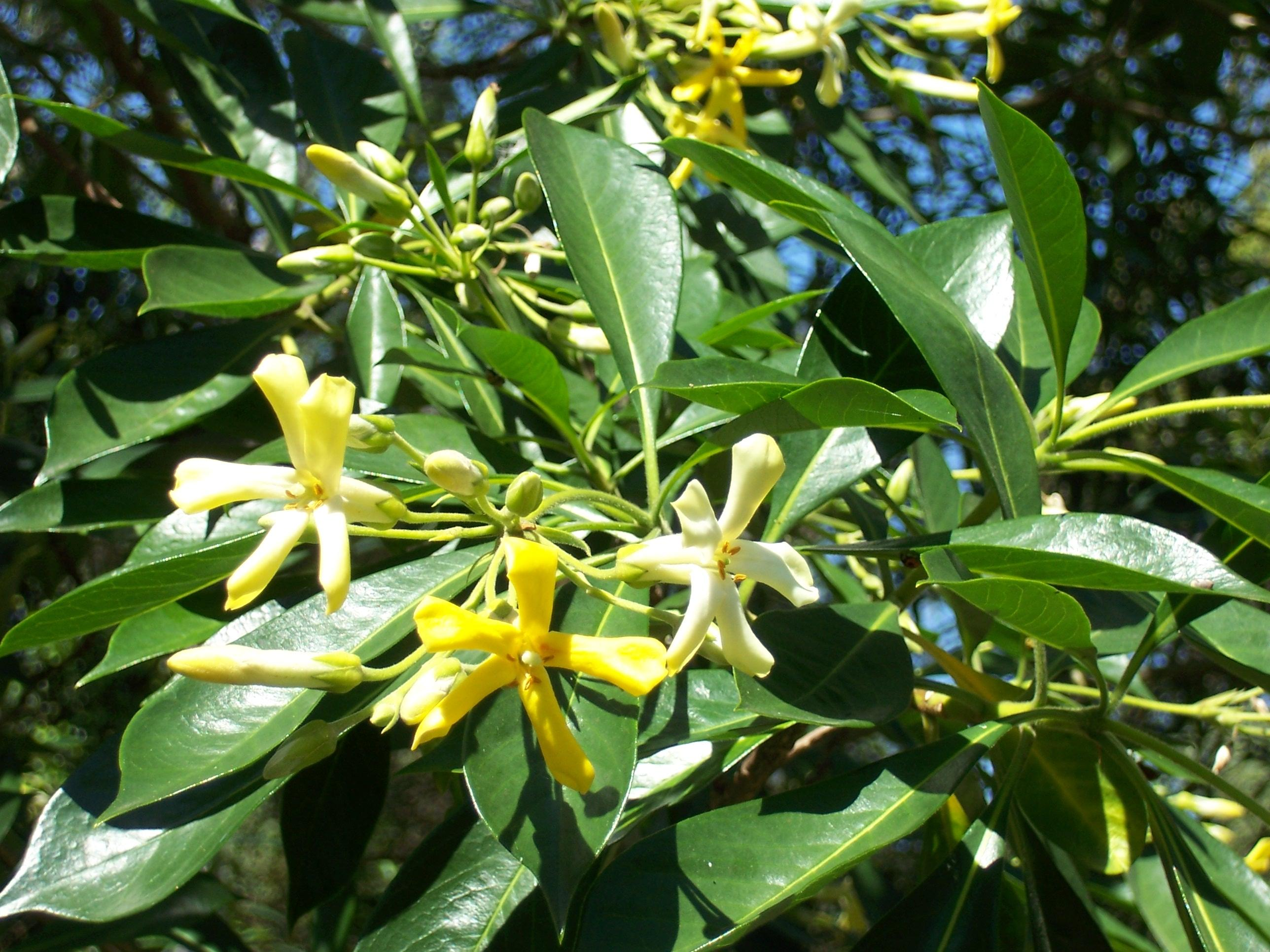 Redlands trees - Native Frangipani