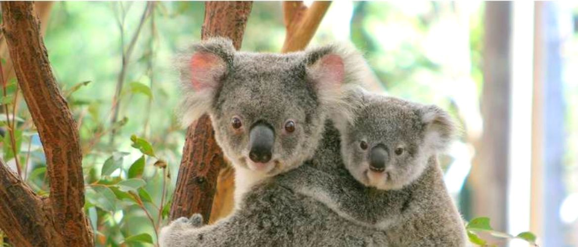 A koala and her joey in a gum tree.