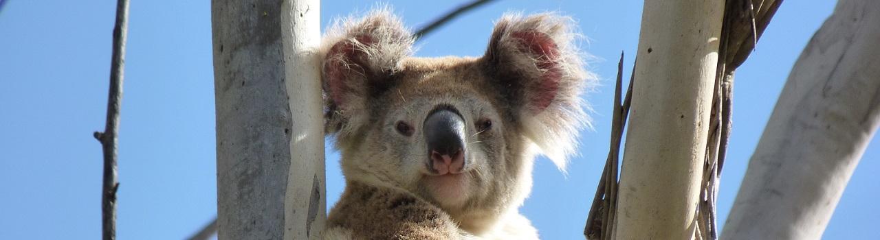 Wildlife in the Redlands - koala