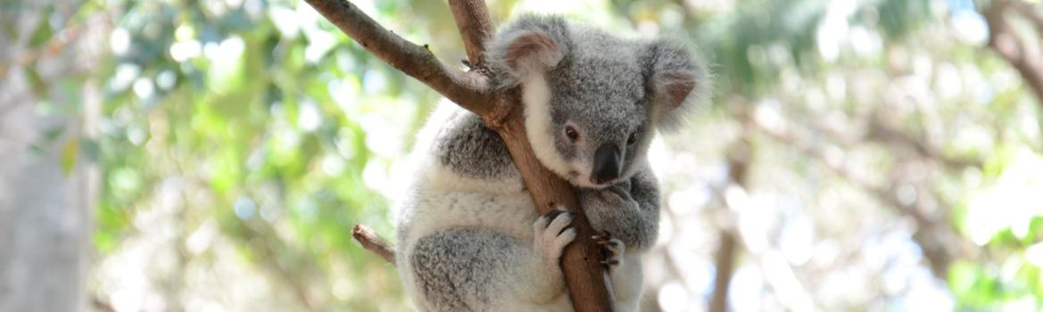 Native ildlife in the Redlands - Koala in a tree