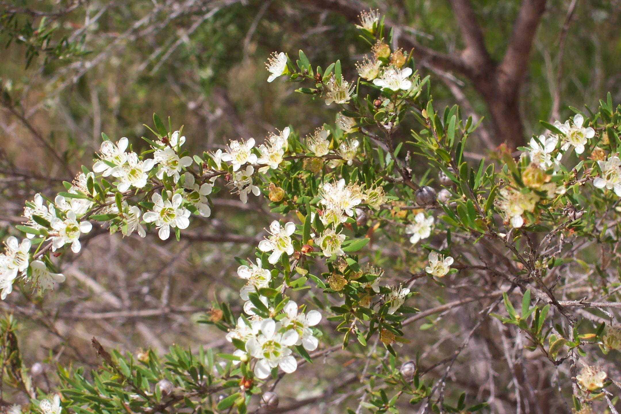 Redlands shrubs - Wild May