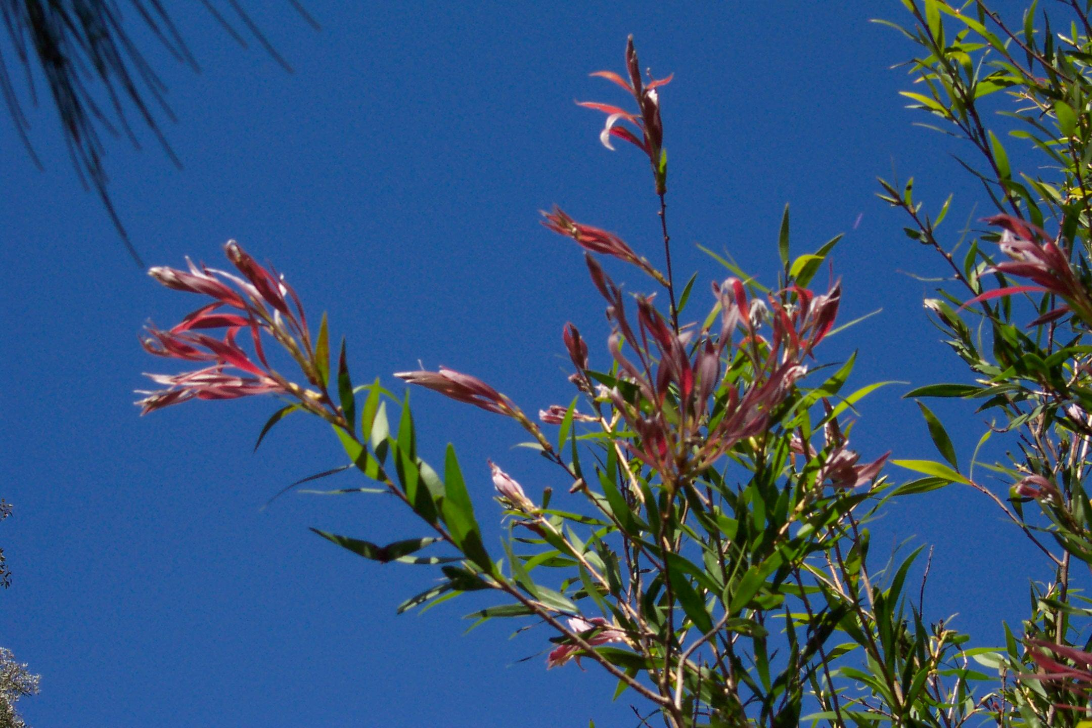 Redlands trees - Pink Tips Bottlebrush