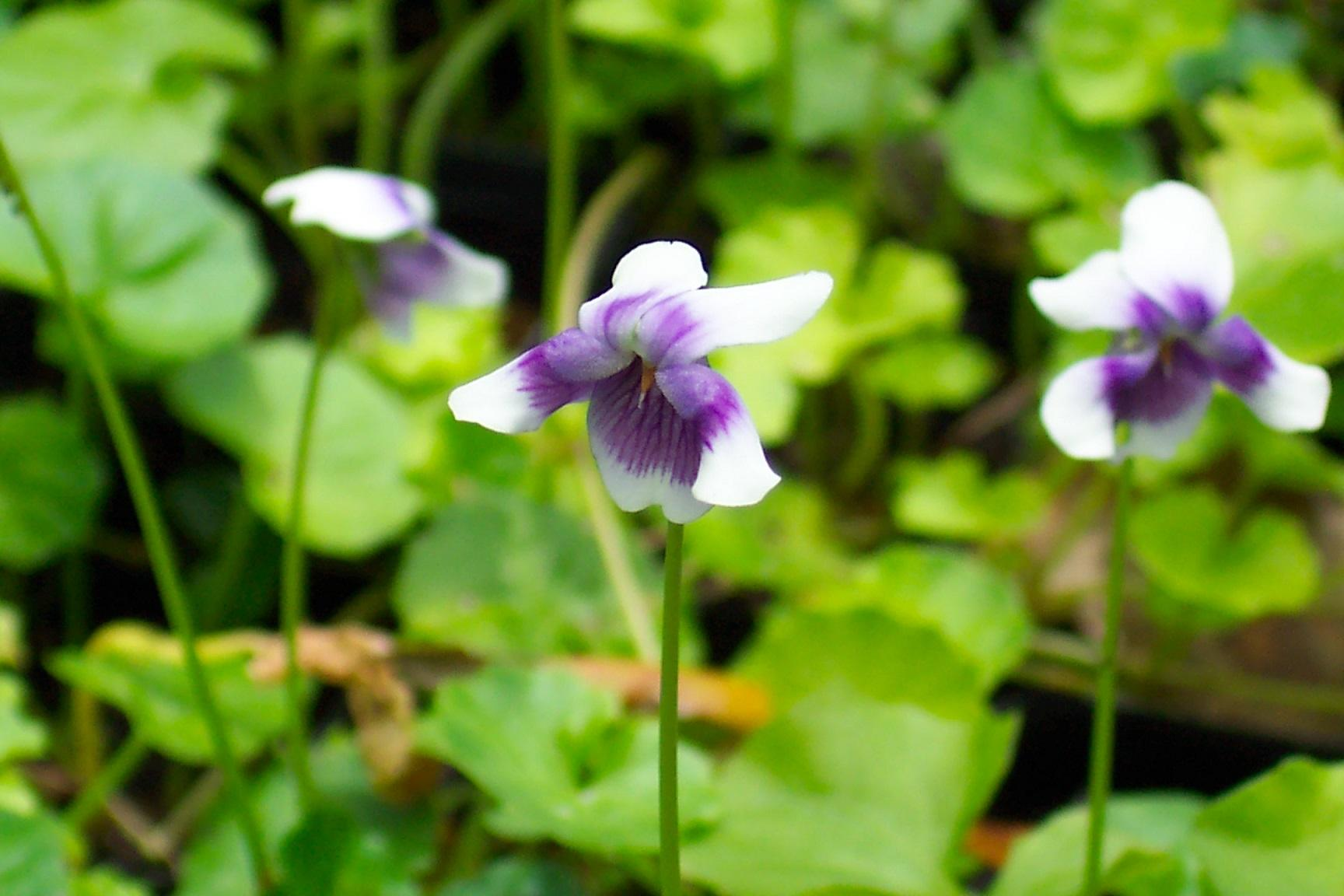 Redlands groundcovers - Native Violet