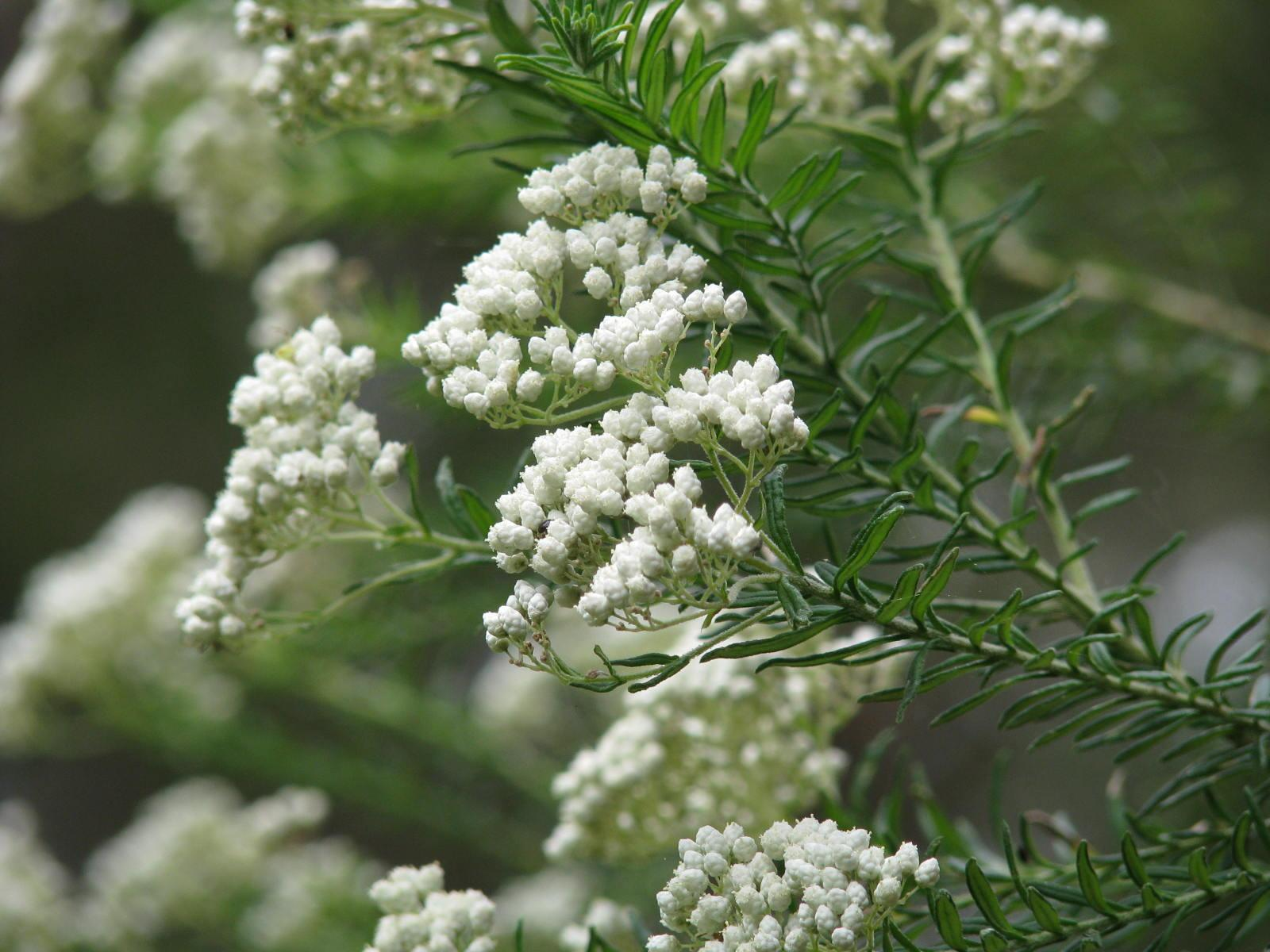 Redlands shrubs - Sago Bush