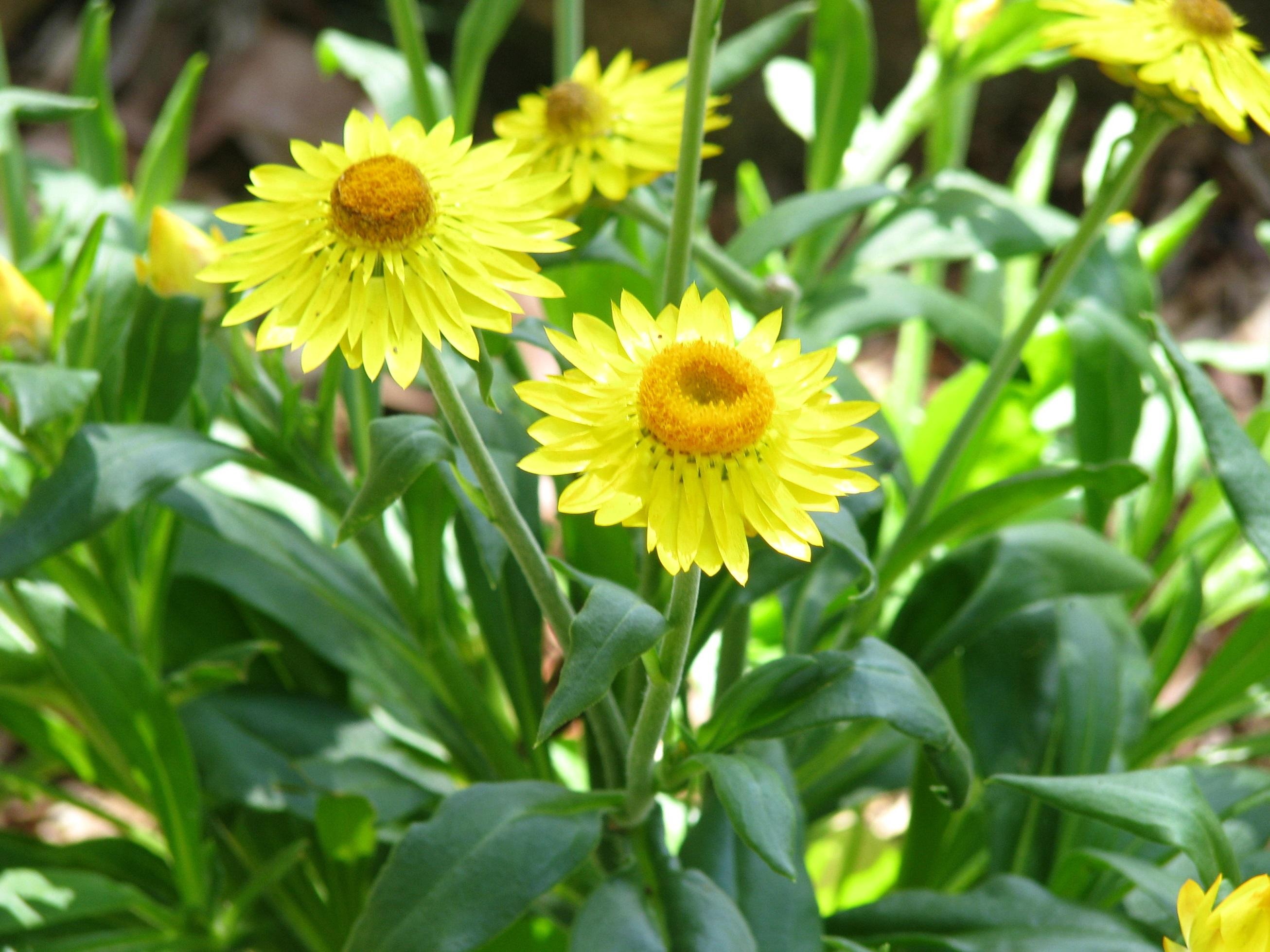 Redlands groundcovers - Paper Daisy