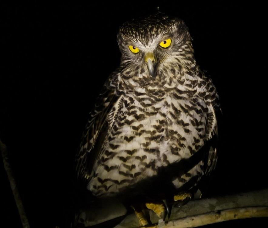 Wildlife in the Redlands - Powerful Owl