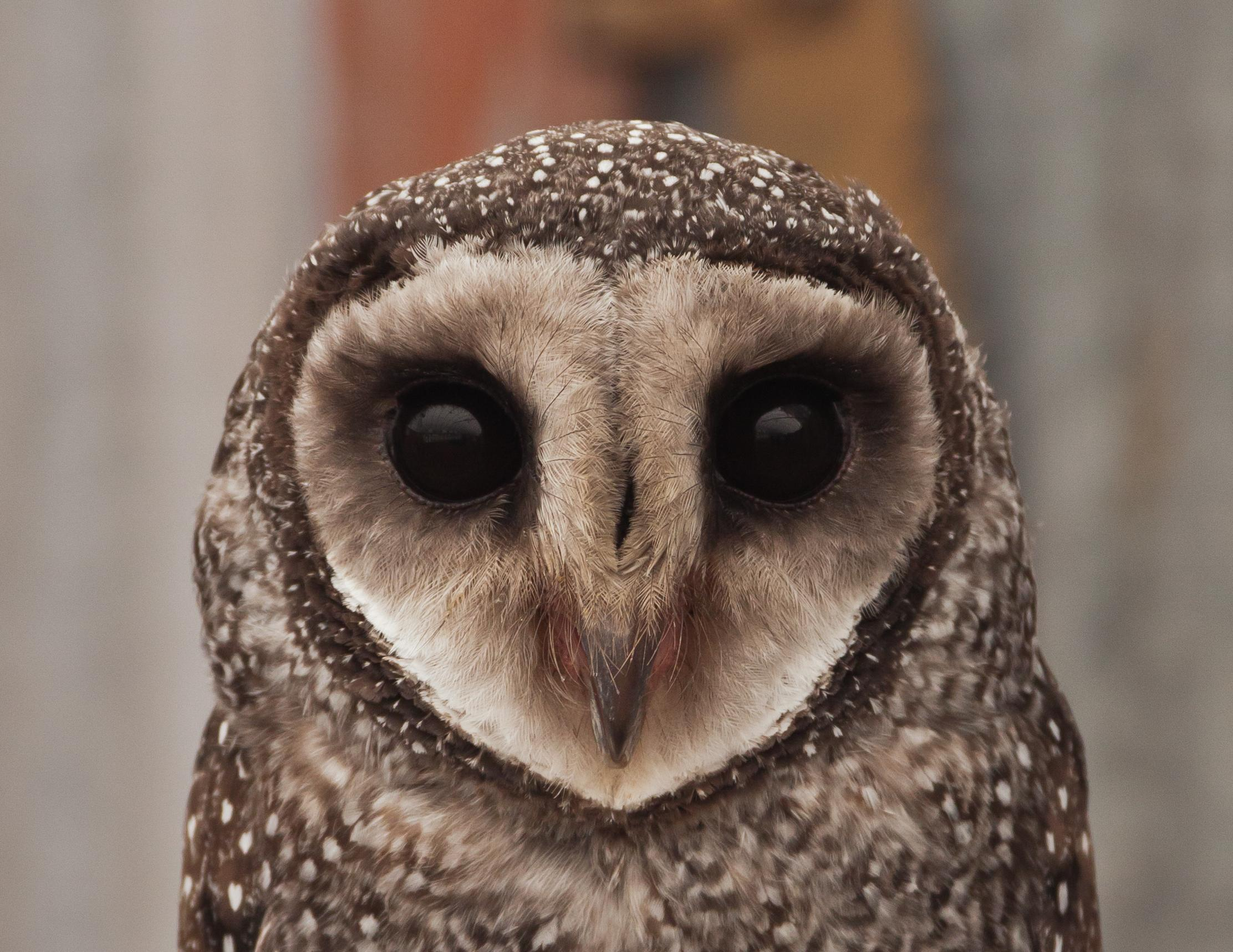 Birds of the Redlands - Greater Sooty Owl